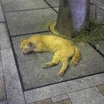 MANGO CAFE - 店の前でくつろぐ猫さん。通行人が多いので踏まれないか心配。