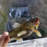 45907654 - 袋田の滝をバックに「鮎の塩焼き (400円)」