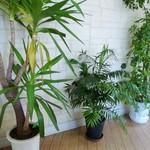 ロイヤルパラソル - 観葉植物