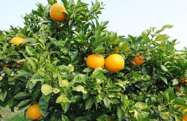 道瀬食堂 - この地区は蜜柑が有名。