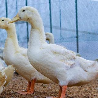 山形の鴨農場から直送される国産ならではの旨みをもった最上鴨