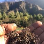 クンビラ - 毎年ヒマラヤの標高2500-4000m付近の山岳地より野生のスパイスや高山ハーブ(薬草)を仕入れ、その地に古くから伝わる医食同源を守っております(^'^)