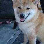 柴ふく - 看板犬の柴わんこ