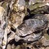 常呂漁業協同組合直売所 - 料理写真:(2015.12)一年ものの牡蠣ですヾ(@⌒ー⌒@)ノ