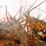 珊瑚礁 - 黒潮本流の影響の濃い紀伊半島南西沿岸の荒海育ちのイセエビは緻密な筋肉質な身で旨み&甘みが濃厚です。
