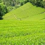 Green Tea Fields - メイン写真: