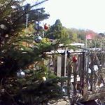 ラ・ポルタ - 2008/12 玄関脇の木がクリスマス仕様
