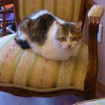 ポンポンマム - ポンポンマムの愛猫・さすけ