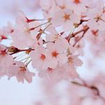 コードネーム ミクソロジー トウキョウ - 桜