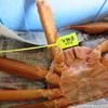 海の蔵 - 料理写真:1602_海の蔵_巨大香住蟹お買い上げ!_タグ付き!