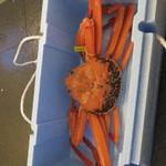 海の蔵 - 1602_海の蔵_巨大香住蟹お買い上げ!_真水で〆た後です