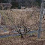 48635125 - 駐車場から見下ろした所にある桜のつぼみが                       膨らみ始めましたよ。
