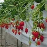 うめこう桃梨苺園 - 料理写真:食べ頃いちごが豊作ですよ♪