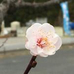 48936626 - 開花した桜