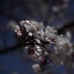 49085559 - 庭先の桜