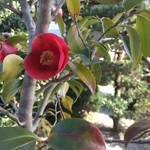 49174673 - 庭に咲く花椿