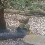 49289301 - 野生の雉さん。つがいの雄は見当たりませんでした