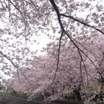 鳥一 - 2016.4  すぐ近くの尾崎橋付近の桜