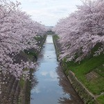 49474451 - 店近くの佐保川の桜