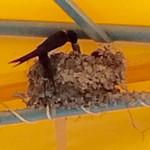 49478944 - 池田屋の店舗のテント屋根の下にツバメの巣があった。