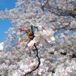 49481873 - 目黒川の快晴で満開の美しく降り注ぐ見事な桜です