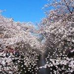 49481894 - 目黒川の快晴で満開の美しく降り注ぐ見事な桜です