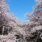 49481947 - 目黒川の快晴で満開の美しく降り注ぐ見事な桜です