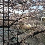 チャールスとん - リビング窓からの桜