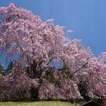 49706662 - 常照皇寺門前の桜