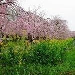 カルナータカー - 枝垂桜と菜の花