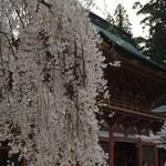 すし哲 - 夕暮れ時の塩竈神社のしだれ桜