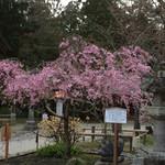 すし哲 - 塩竈神社  ピンクの色が濃い桜