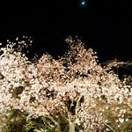 茶乃逢 - 桜のライトアップ