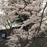 49881127 - 2016年4月再開の春