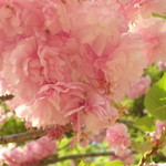 韻松亭 - 八重桜が咲いてました。