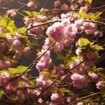 SOAKS - 八重桜がまだ咲いてました