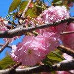 50186708 - <'16/04/19撮影>8時53分の快晴で満開の八重桜