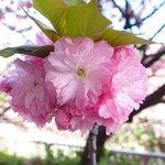 50186826 - <'16/04/19撮影>8時53分の快晴で満開の八重桜