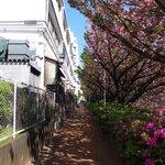 50187006 - <'16/04/19撮影>8時53分の快晴で満開の八重桜
