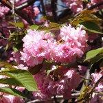 50188369 - <'16/04/19撮影>8時53分の快晴で満開の八重桜