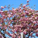 50188383 - <'16/04/19撮影>8時53分の快晴で満開の八重桜