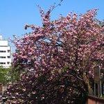 50188399 - <'16/04/19撮影>8時53分の快晴で満開の八重桜