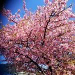 50987202 - お店近くの桜。