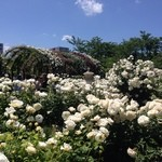 51047115 - 横浜イングリッシュガーデンの白薔薇エリア