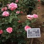 51096311 - カリーナと言うバラの品種
