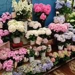 Roguhausu - 紫陽花~!!紫陽花って沢山の種類があるのねぇ~!!(・。・;