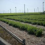 51196949 - お茶畑