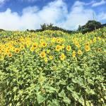 garden kuu CAFÉ - 梅雨に負けず、ひまわり畑満開です!!