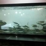 北海亭 - 料理写真:大きな水槽にアジが泳いでいます。