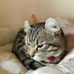 Cafe Chaton Rouge - 看板猫のジッタさん 寝起きです